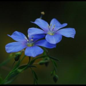 Kerri Farley - Blue Flowers #145 05-30-09