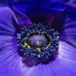 Blue Anemone - 8442567842_f12bc64f5b_b