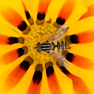 I love the way the colours and stripes of both the hoverfly and the gazania compliment one another.