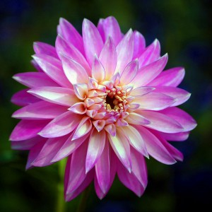 Pink Pinwheel Flower by Art Goldenberg