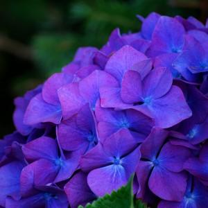 Purple Hydrangea by Russell Tomlin
