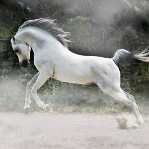 White Arabian Stallion by Johnny Krüger