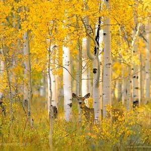 A Deer in Autumn Aspens by David C. Schultz