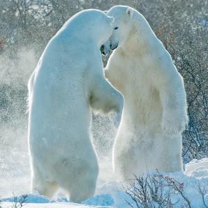 Two Polar Bears by David C. Schultz