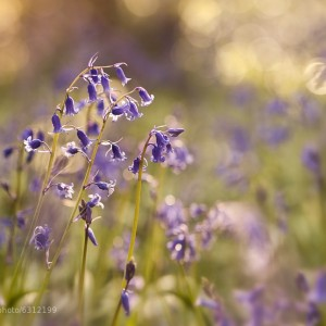 Bluebells & Light by Gary McParland