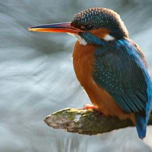 Kingfisher by Martin Amm