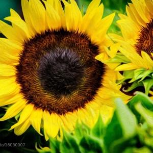 Sunflowers by Joey J. Schwartz