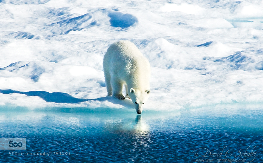 Polar Bear Reflection by David C. Schultz