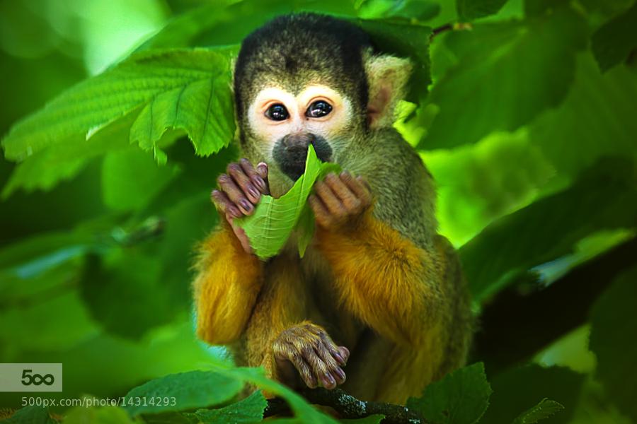 Little Monkey by Wim Bolsens