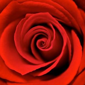 Red Rose by Stuart Richards