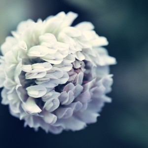 Clover Flower by Anette Kristiansson