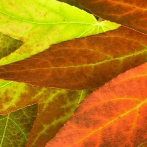 Autumn Leaves Fall by David Henderson