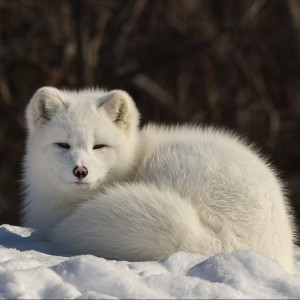 Arctic Fox by Lucie Gagnon