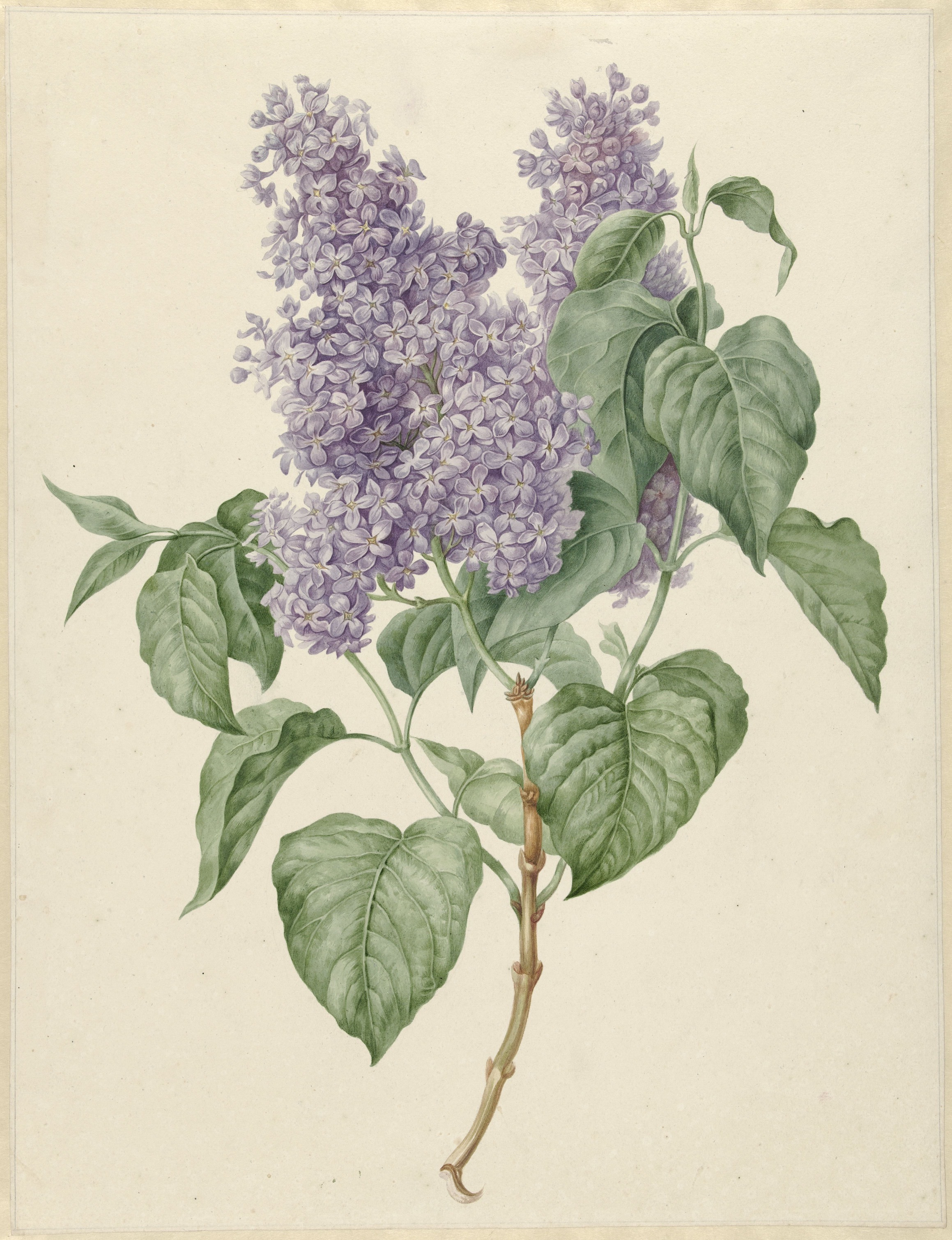 Branch of Purple Lilacs, by Maria Geertruyd Snabilie