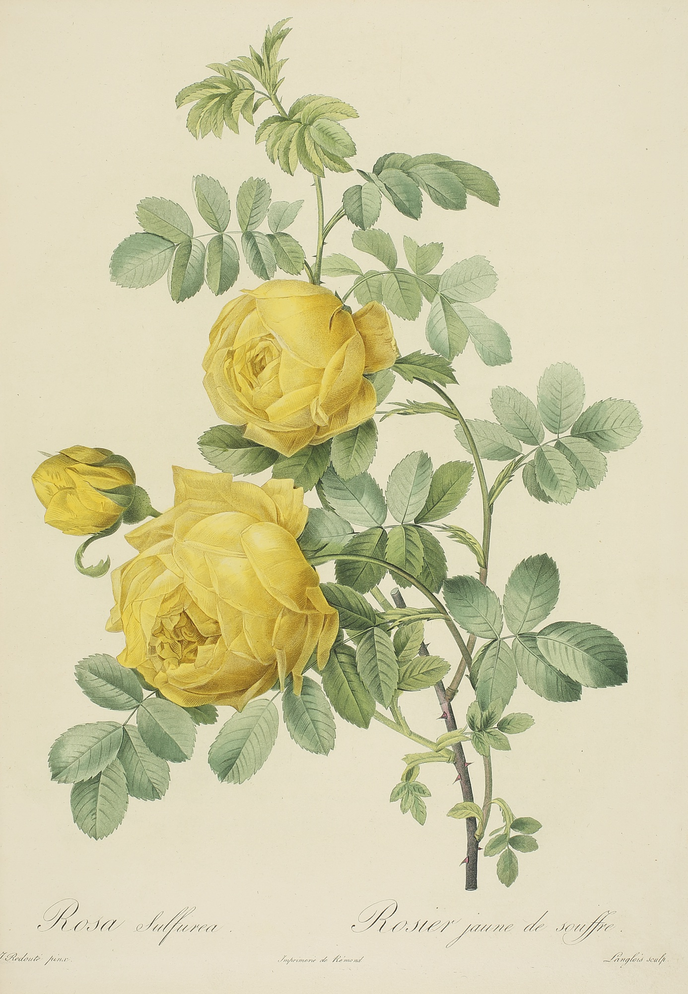 Les Roses, Three Botanical Illustrations by Pierre Joseph Redouté, 1817 - 1824, 3