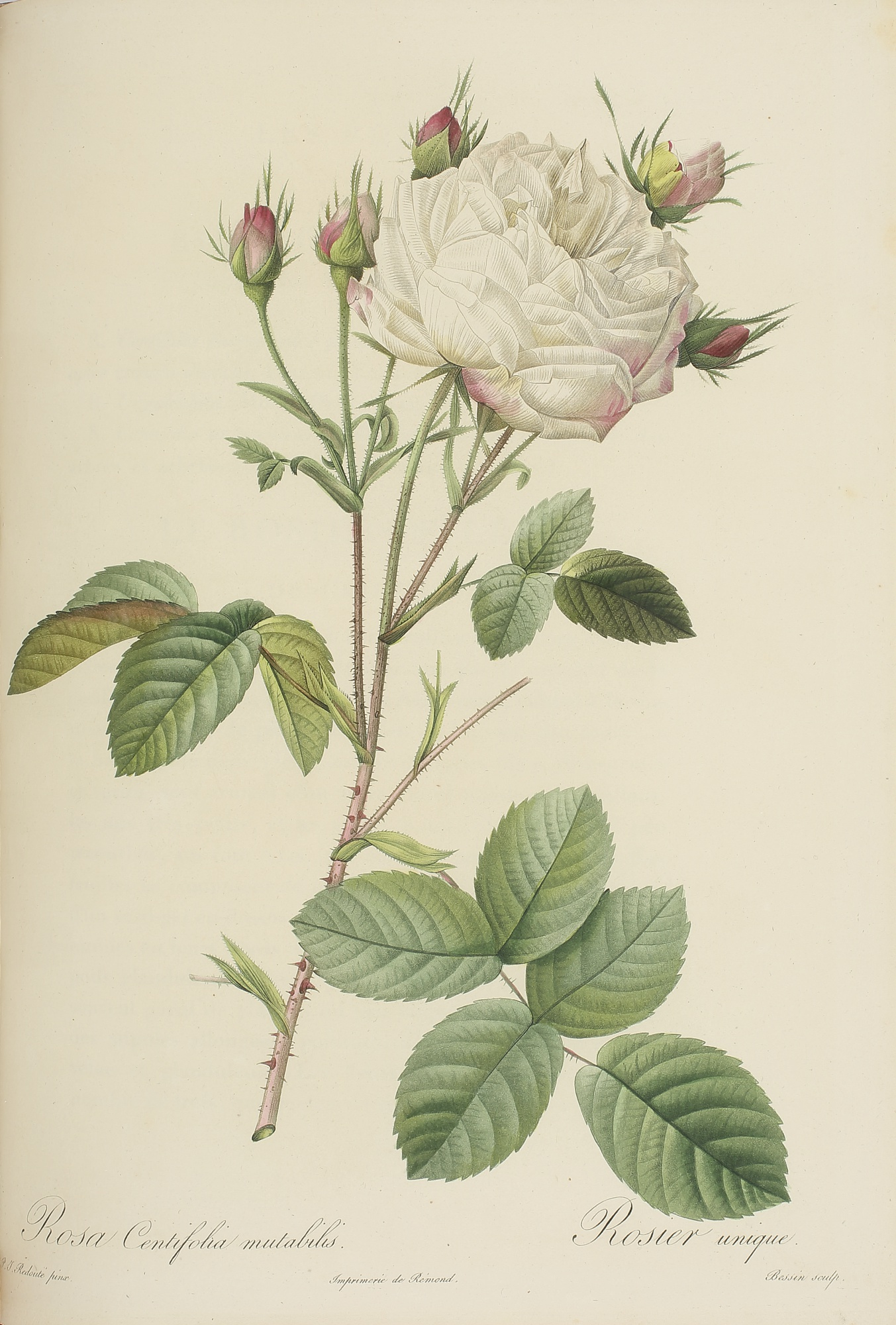 Les Roses, Three Botanical Illustrations by Pierre Joseph Redouté, 1817 - 1824, 2