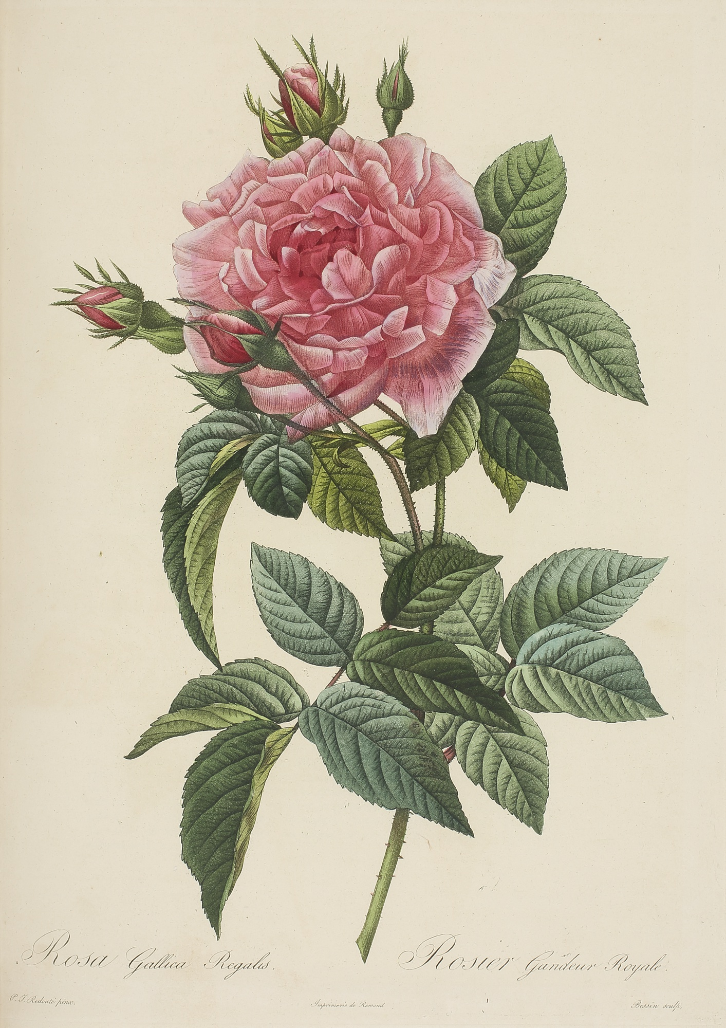 Les Roses, Three Botanical Illustrations by Pierre Joseph Redouté, 1817 - 1824, 1