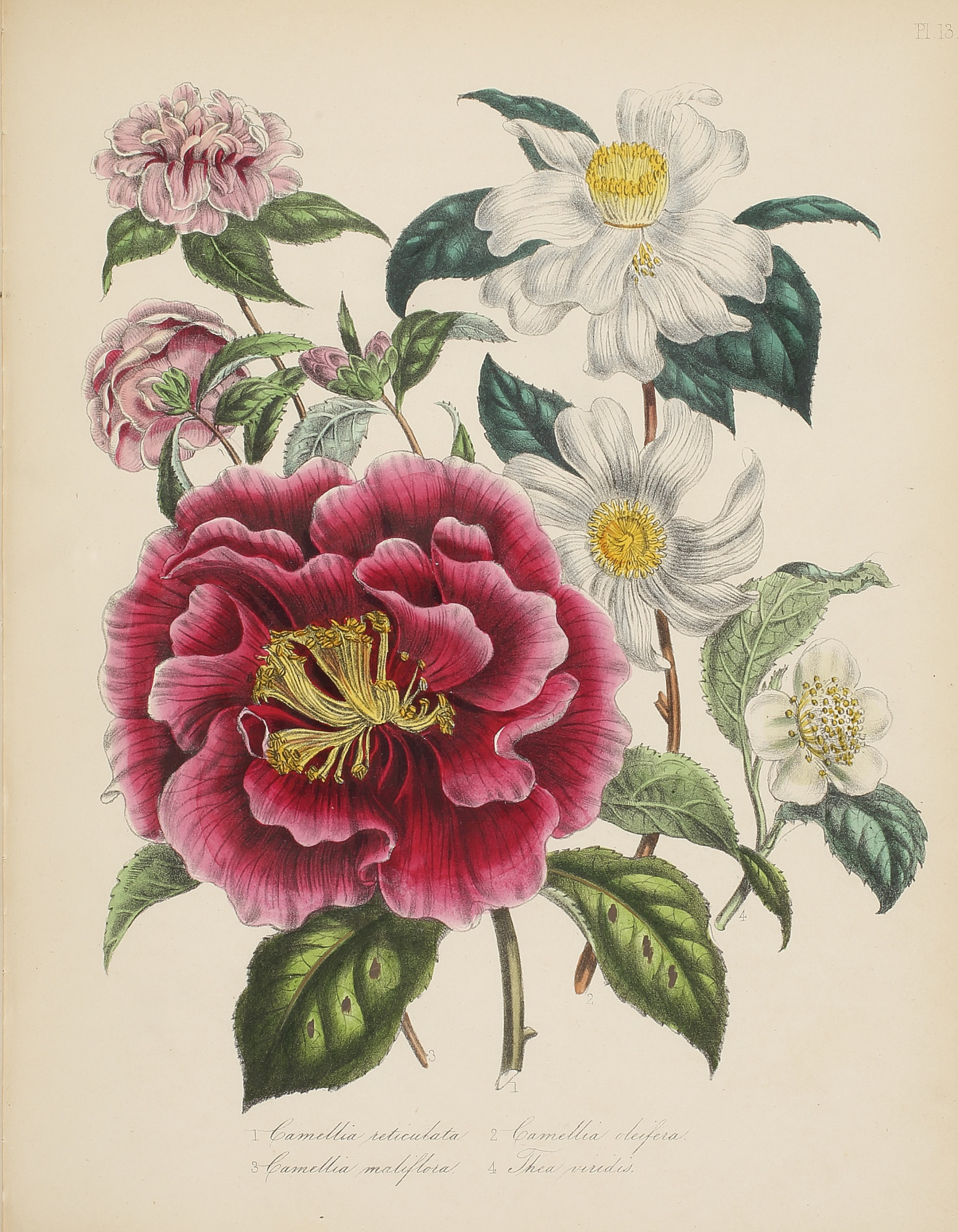 Three Floral Illustrations, by Jane Webb Loudon, 1840-46, 1