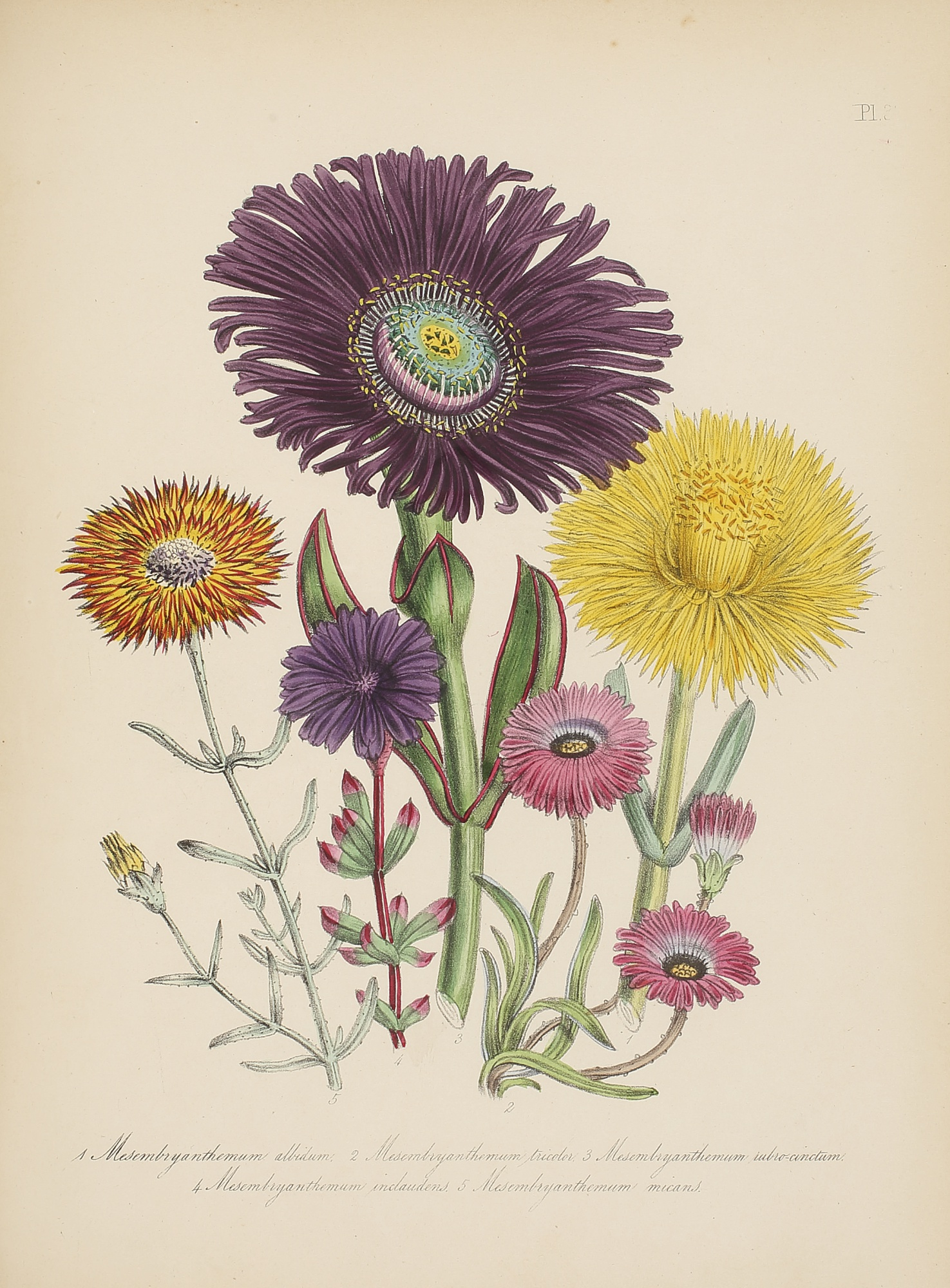 Three Floral Illustrations, by Jane Webb Loudon, 1840-46, 2